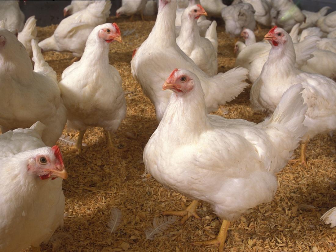 Выращивание цыплят бройлеров в домашних условиях. С чего начать?