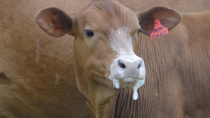 Как кормить телочку, чтобы вырастить ее в будущую корову?