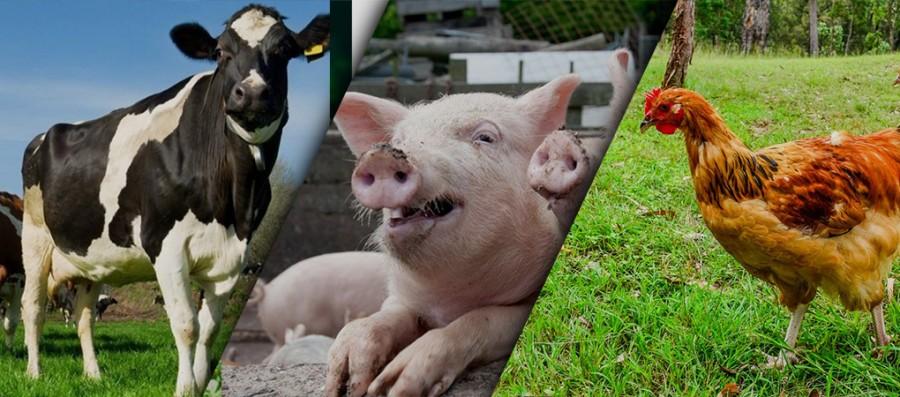 Що таке повнораціонні комбікорми? Склад повнораціонного комбікорма для тварин. Особливості використання та застосування.