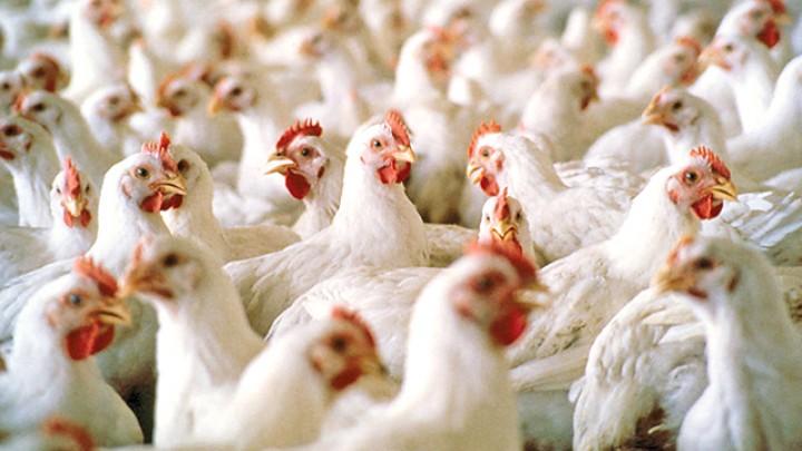 Как кормить бройлеров на мясо в домашних условиях?