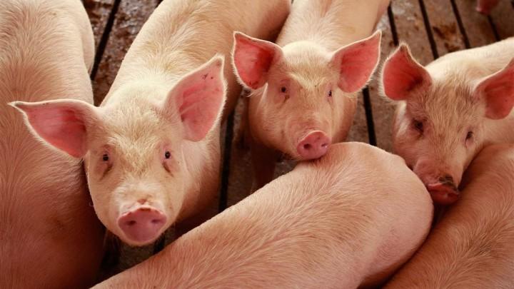 Как эффективно откормить свиней в условиях домашних хозяйств. Основные виды кормов и особенности их применения