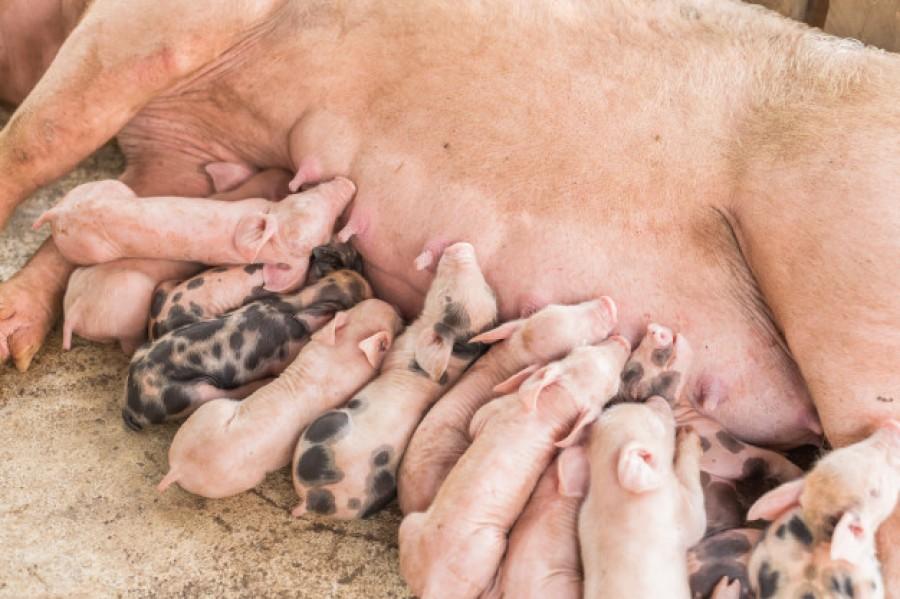 Вплив вмісту заліза різного походження в раціоні свиноматок на рівень заліза у новонароджених поросят