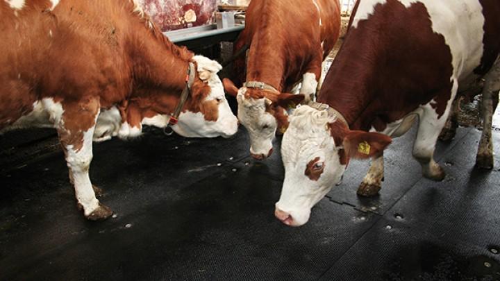 Влияние типа поверхности пола на комфорт движения и здоровье коровы