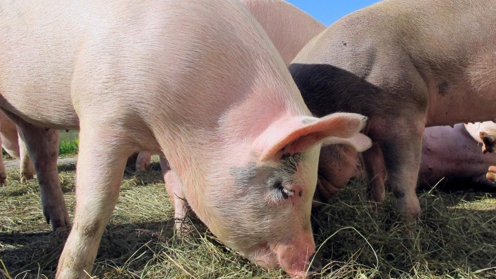 Як виростити повноцінну заміну старій свиноматці? Секрети успішного вирощування ремонтних свинок.