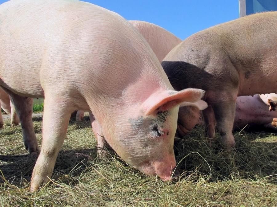 Как вырастить полноценную замену старой свиноматке? Секреты успешного выращивания ремонтных свинок.